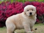 正规实体养狗场直销世界名犬 保健康纯种 上门参观挑选