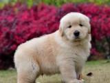 广州市本地正规犬舍直销血统世界名犬 欢迎实地上门参观挑选