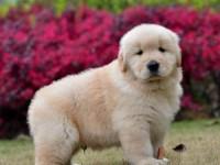 大型正规养狗场直销各种世界名犬 保健康纯种 上门参观挑选