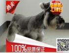 精品雪纳瑞幼犬在售专业犬舍繁殖健康纯种欢迎上门