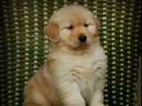 义乌里有卖金毛的 金毛幼犬大概钱