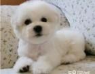 自然卷的白白胖胖的比熊宝宝不靠任何华丽的装扮