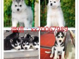 北京自提出售世界各类名犬 支持上门看狗加微信有折扣