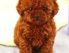 上海出售 纯种泰迪 包犬瘟细小包健康 三个月有问题包退换
