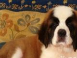 家养一窝纯种的圣伯纳幼犬低价出售,高大威猛四肢粗壮