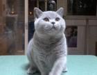 福州英短蓝猫 个个大包子脸地毯毛 活泼粘人 可上门