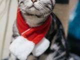 霸气外露顶级纯血美短毛幼猫公母齐全质保三年可刷卡欢迎品鉴