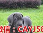 做良心犬业丨卖健康宠物丨纯种卡斯罗丨签协议