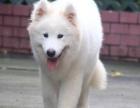 萨摩犬因主人移民割爱