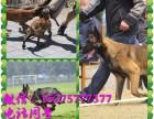 纯血统高品质马犬 疫苗驱虫已做 签购犬协议多只可选