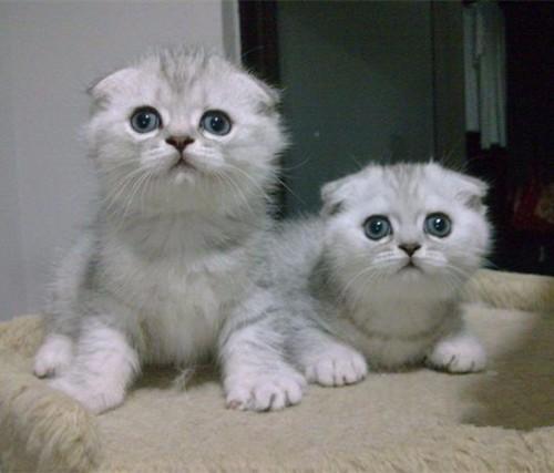 折耳猫精品包纯种保健康包活 可预定可签协议合同