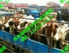 河南肉牛价格- 河南肉牛价格-河南肉牛价格行情河南肉牛报价