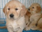 福州出售宠物狗狗幼犬-包健康签协议-质保三年