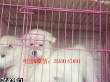 签订协议——真实拍摄——微信视频——纯种萨摩耶幼犬