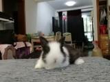 垂耳兔,猫猫兔,侏儒兔自家养殖兔子 垂耳价格120