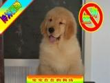 纯种金毛犬——24小时送狗上门——品质健康保终身