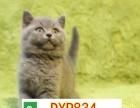 专业繁殖纯种精品英短蓝猫,蓝胖子包子脸