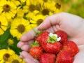 老贾草莓熟了,欢迎来采摘