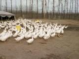 南阳鹅苗孵化基地,鹅苗批发,鹅苗供应,大品种鹅苗繁育中心