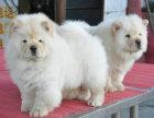 憨厚肉嘴松狮幼犬出售公母均有疫苗驱虫已做包纯种包健康