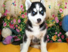 哈士奇幼犬出售纯种三把火蓝眼哈士奇幼犬西伯利亚雪橇