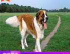 哪里有圣伯纳犬出售多少钱,圣伯纳犬的照片