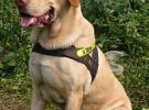 出售纯种拉布拉多犬 质量好 血统纯 健康保证