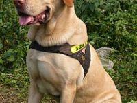 出售纯种拉布拉多犬 质量好 包健康 血统保证