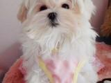 温州哪有马尔济斯犬卖 温州马尔济斯犬价格 马尔济斯犬多少钱