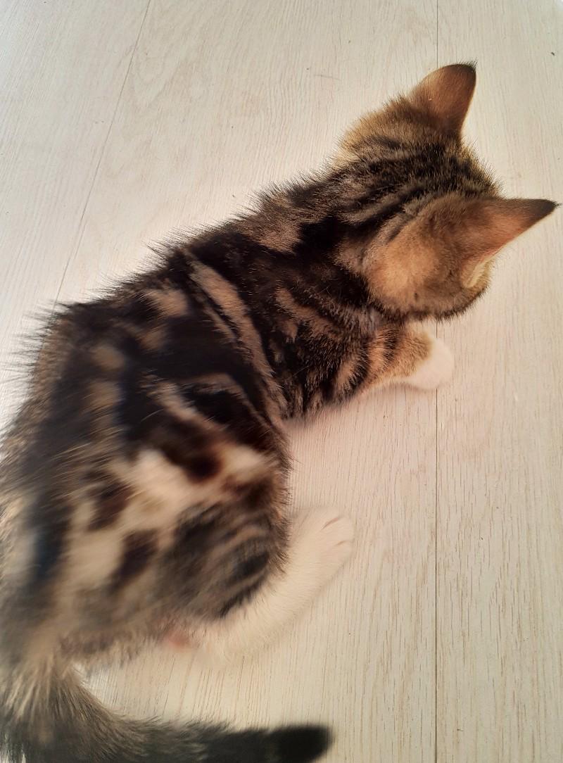 美国短毛猫加白虎斑公猫1000元三个月大看好便宜