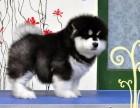 佛山市哪里有卖阿拉斯加幼犬 阿拉斯加多少钱一只