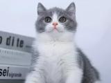 北碚双血统蓝白幼猫猫舍特惠