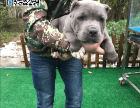 哪里出售比特犬 纯种比特犬多少钱