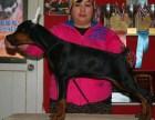 可货到付款 可实地挑选 专业繁殖杜宾犬 签协议