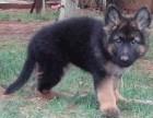 上海哪里有黑背犬卖 泰迪金毛哈士奇秋田博美阿拉多少钱价格