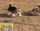 米格鲁猎兔犬丨精品比格犬 小体经典款精品比格犬