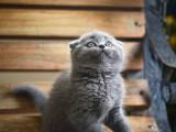 纯种英国短毛猫蓝猫矮脚活物幼崽蓝胖子宠物猫