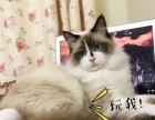 海豹双色布偶猫借配