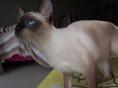 极品暹罗猫黑耳蓝眼蓝重点泰国猫虎斑幼崽/多色可选/包纯种健康