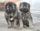 纯种的高加索多少钱 宠物店的狗靠谱吗