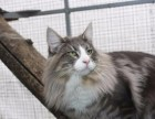 上海纯种挪威森林猫,有CFA血统证,欢迎上门看猫