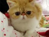 江苏扬州纯种美短加白幼猫特价出售