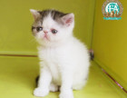 CFA加菲猫 加菲小猫 短毛加菲 带证加菲猫