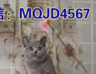 精品--可爱小蓝猫多只DDMM欢迎新家长前来选购