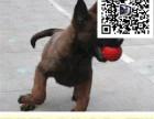 马犬驯养 高兴奋度 免费提供训练 全国可邮寄发货