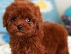 东莞哪里买狗好 精品玩具体泰迪犬 纯种泰迪犬多少钱