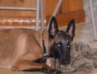 自己家繁殖马犬 三个月的小马犬价格