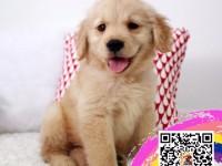 金毛幼犬高端冠军级赛级金毛领导者,大头宽嘴大毛量大骨架