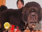 湘潭藏獒出售 具有粗犷、剽悍美、刚毅的心理承受能力狗狗藏獒