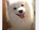 精品银狐犬 保纯保健康 疫苗和驱虫均做完 可签协议